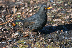Blackbird sitting on the ground in the Park. The male Blackbird in spring plumage. Ornithology, bird watching Royalty Free Stock Images