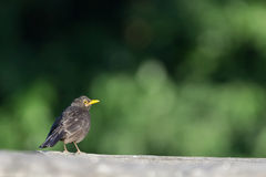 Blackbird Royalty Free Stock Photo