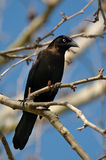 Blackbird sitting on a limb. Stock Images
