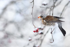 Blackbird sitting in the Park in the winter and eats frozen fruits red Rowan Royalty Free Stock Photo