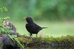 Blackbird sitting by a pond in the woods Stock Photo