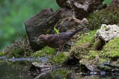 Blackbird sitting by a pond in the woods Royalty Free Stock Image