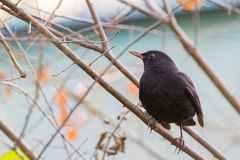 Blackbird Royalty Free Stock Photos