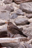 Blackbird Sitting on Wooden Board Eating a Worm Stock Photo