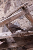 Blackbird Sitting on Wooden Board Eating a Worm Royalty Free Stock Images