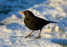 Blackbird in the snow Royalty Free Stock Image