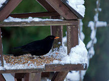 Blackbird in Snow Stock Images