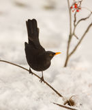Blackbird with snow. A male Blackbird (Turdus merula) keeps balance on a thin twig with snow in the background stock photos