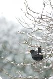 Blackbird in snow. Male Blackbird on snow covered branches. Snow falling in background royalty free stock photos