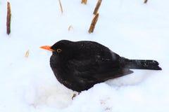 Blackbird and snow. The black bird with a yellow beak on snow Stock Image