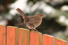 Blackbird and snow. The black bird with a yellow beak on snow Royalty Free Stock Photos