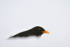 Blackbird in a snow wave Royalty Free Stock Images
