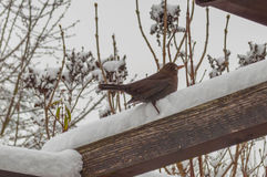 Blackbird on snow royalty free stock photography