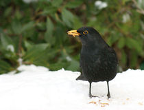 Blackbird in the snow with worm Stock Image