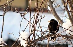 A blackbird on a snowy branch Stock Photo
