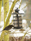 Blackbird and Sparrow at the Bird Feeder Royalty Free Stock Photography