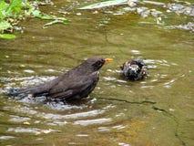 Blackbird and sparrow Royalty Free Stock Photos