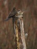 Blackbird and Sparrows Royalty Free Stock Photos