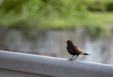 Blackbird in a spring afternoon stock photo