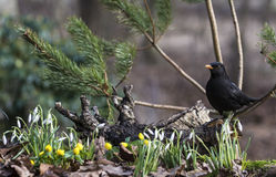 Blackbird and spring flowers Royalty Free Stock Photos