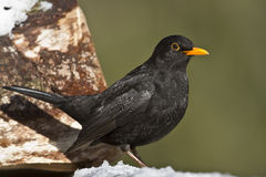 Blackbird standing on a trunk Royalty Free Stock Images