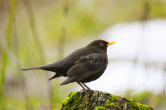 Blackbird stands on a green wooden stump in spring Park Royalty Free Stock Images