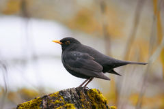 Blackbird stands on a green wooden stump in spring Stock Photography