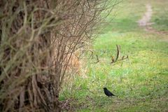A blackbird stands on a path royalty free stock photos