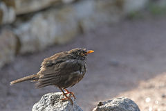 Blackbird on stone Royalty Free Stock Image