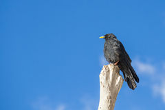Blackbird in summertime - room for text Royalty Free Stock Images