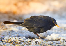 Blackbird at sunset Stock Photos