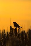 blackbird sylwetka Fotografia Stock