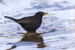 Blackbird Turdus merula. A blackbird takes a bath in a puddle Royalty Free Stock Photos