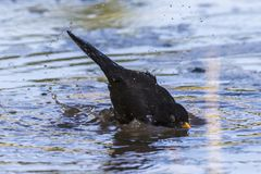 Blackbird Turdus merula. A blackbird takes a bath in a puddle Royalty Free Stock Photo