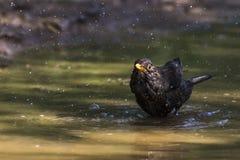 Blackbird Turdus merula. A blackbird takes a bath in a puddle Stock Photos