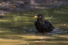Blackbird Turdus merula. A blackbird takes a bath in a puddle Stock Photo