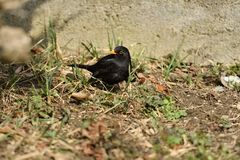 Blackbird thrush watching in the grass. Blackbird thrush watching  and eating in the grass Stock Photos
