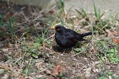 Blackbird thrush watching in the grass. Blackbird thrush watching  and eating in the grass Stock Photography