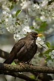 Blackbird on tree Royalty Free Stock Photos