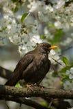 Blackbird on tree Royalty Free Stock Photos