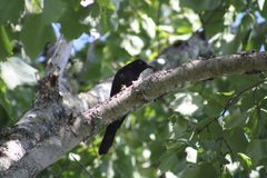 Blackbird in Tree Royalty Free Stock Photo