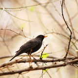 Blackbird on tree branch. Blackbird in a natural outdoor setting, resting on a tree branch stock photos