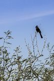 Blackbird on a tree branch. In Saguaro National Park, Arizona Royalty Free Stock Photos