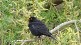 Blackbird on tree branch stock video