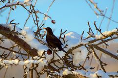 Blackbird in a tree Royalty Free Stock Image