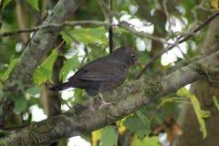 Blackbird in tree Royalty Free Stock Photos