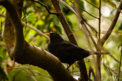 Blackbird on a tree Stock Photo