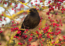 Blackbird (Turdus merula) Royalty Free Stock Image