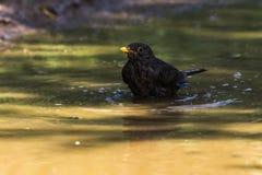 Blackbird Turdus merula. A blackbird takes a bath in a puddle Royalty Free Stock Photography