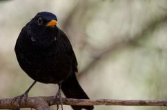 Blackbird. Turdus merula cabrerae. Male. The Nublo Rural Park. Tejeda. Gran Canaria. Canary Islands. Spain stock images